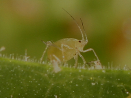 aphid small